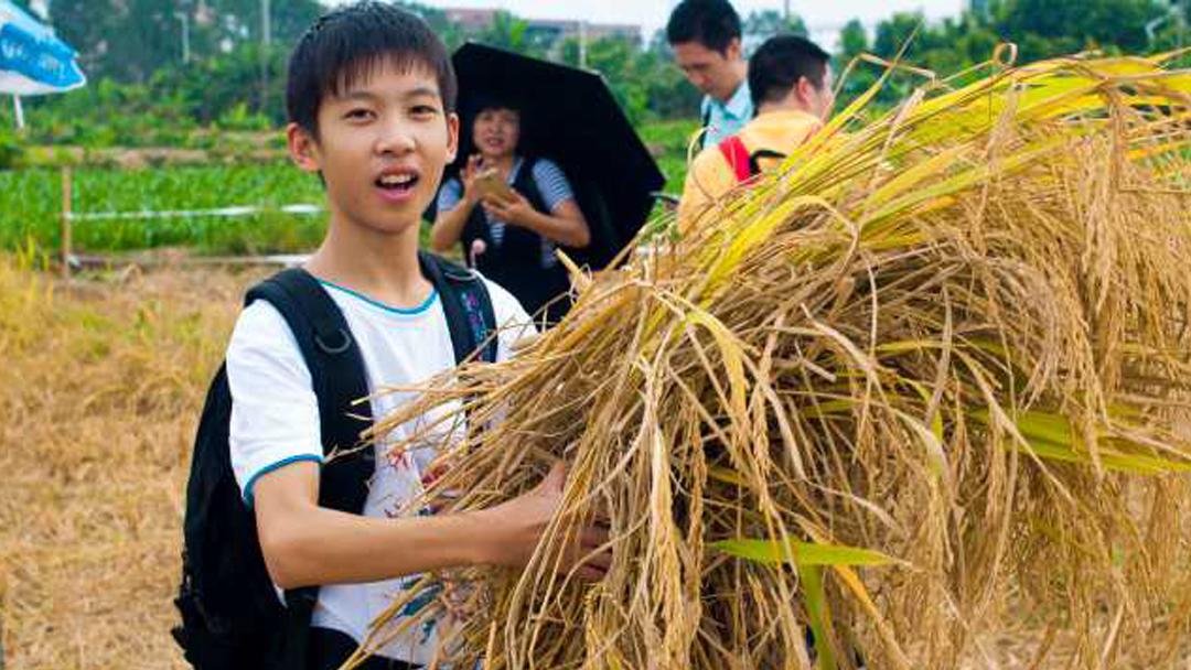 【秋游定制】秋收稻谷、砍甘蔗、打米饼、DIY窑鸡体验